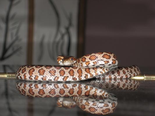 corn-snake-on-baby-grand_1_1