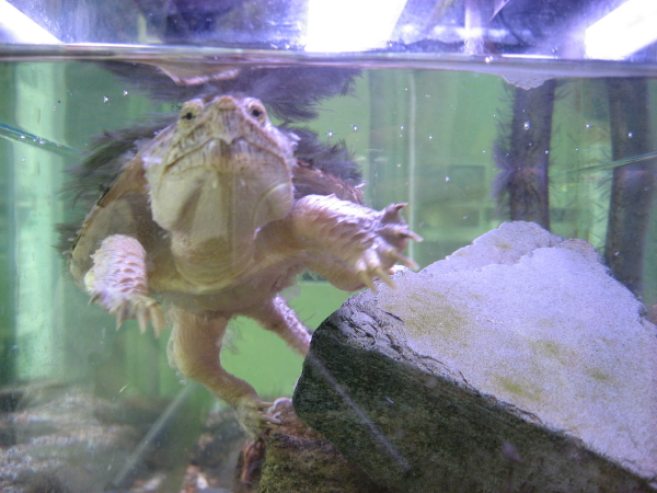 snapping-turtle-face_1_1