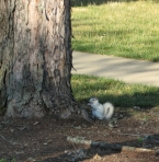 brevard-white-squirrel_1_1