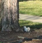 brevard-white-squirrel_1_1