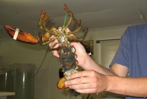 pregnant lobster at Oceanarium