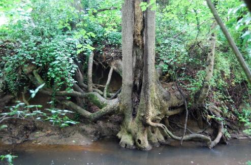 creekside poplar by D.S._1_1