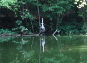 Great Blue Heron at Brookhaven Nature Park
