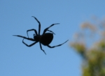 barn spider in silhouette_1_1