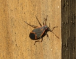 box elder beetle at Hodge Rd RR bridge_1_1