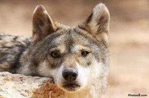 Wolf Face by Photos8