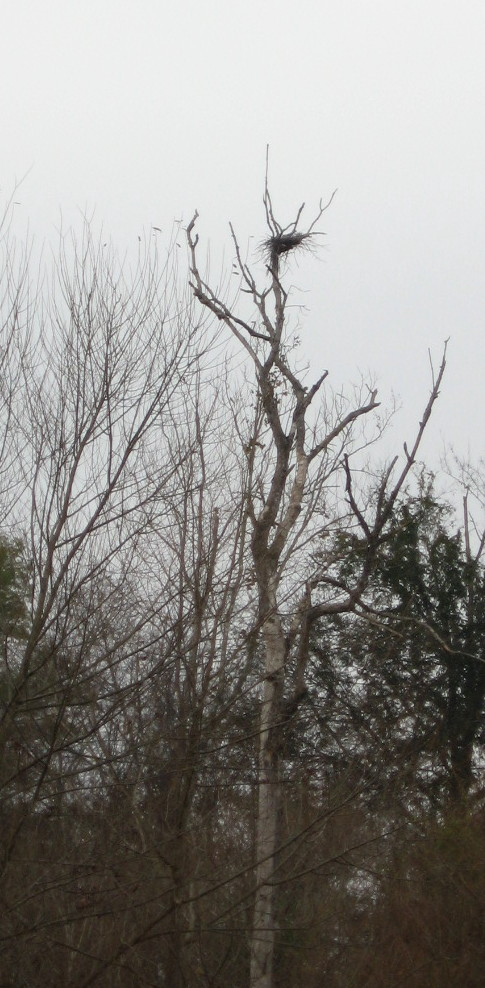 Blue Heron or hawk nest