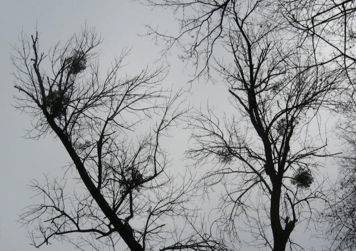 November Mistletoe