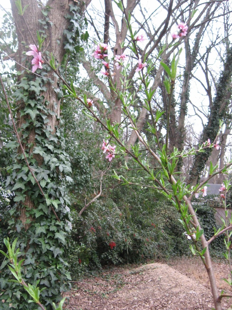 Black cherry blossoms announce spring