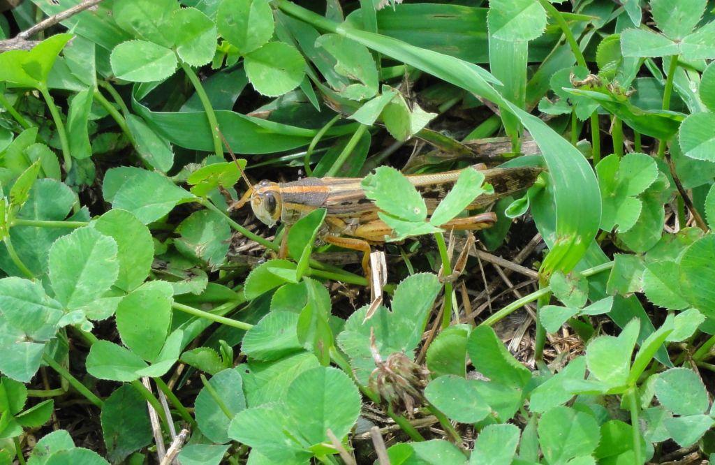 Prairie Ridge grasshopper