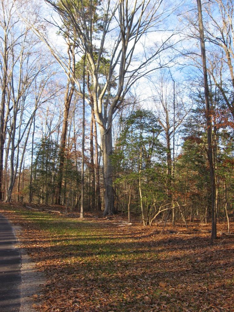 beech on lower Crabtree Trail