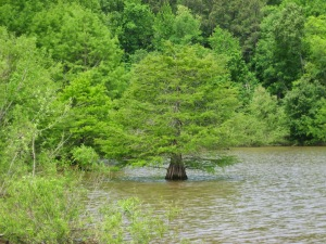 cypress in Falls Lake