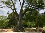 oak tree nando