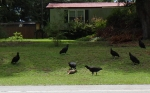 black vultures warmadillo